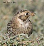 Lapland Longspur with berry
