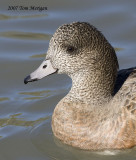 American Widgeon,female
