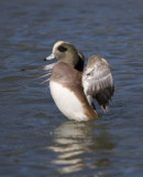 American Widgeon,male