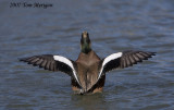 American Widgeon.male