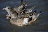 American Widgeon,females