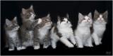 Rafa's Family - Fragile Love Maine Coons