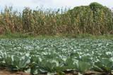 Cultivos de Repollo a un costado de la Ruta al Poblado
