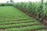 Plantaciones de Zanahoria y Maiz