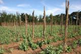 Cultivos de Arbeja  al Lado de la Ruta al Poblado