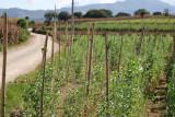 Plantacion de Arbeja en las Afueras del Poblado