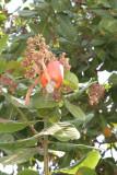 El Marañon es Fruta de la Region