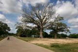 Ceibas Gigantes en la Cabecera