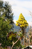 Flor de la Region