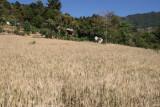 Plantaciones de Trigo a las Afueras de la Zona Urbana
