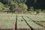Plantaciones de Cebolla