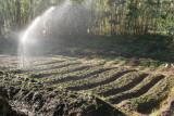Plantacion de Fresa