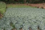 Plantaciones de Verdura Comunes en la Region