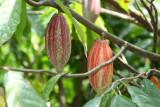 Planta de Cacao y sus Frutos que se Produce en la Region