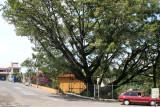 Ceiba a Orillas del Rio Guacalate