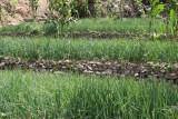 La Verdura se Siembra en Terrazas Para Aprovechar el Terreno