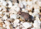 Red-SpottedToad