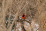 The standard snowy Northern Cardinal