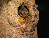 prothonotary warbler on the nest