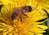IMG_0228_abeille et pissenlit--900.jpg