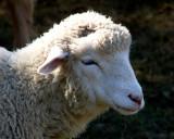Sweet Sheep