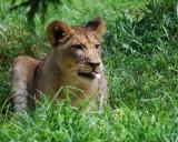 Lion Raspberry
