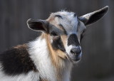 Pretty Baby Goat