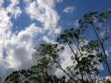 Parsley Sky