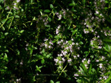 Thyme Blooms