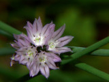 Chive bloom