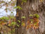 Maple Tags on Oak