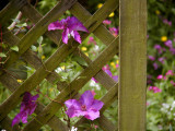 Clematis backed by Spring
