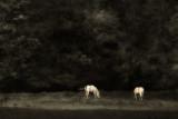Two White Horses.