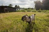 Goat in the fields (8129)