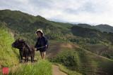 Farmer and bull on the terraced rice fields