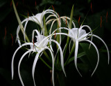 Spider Lily (Aug 05)