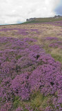 Higgar Tor and heather