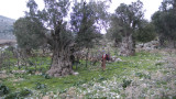SD and ancient olive trees