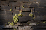 Llanberis Slate walls with plants