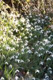 Llanberis Snowdrops