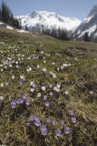 Alpine flowers and meadow, Switzerland