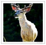 Elk in Morning Sun