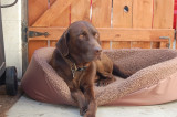 a_chocolate_lab_named_rusty