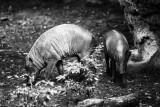 babirusa pair
