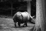 great indian rhinoceras