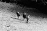 Barasingha deer group