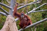 female orang