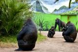 lowland gorilla family
