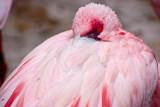 peering flamingo