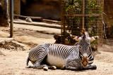 reclining zebra